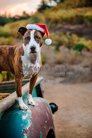 A bully breed wearing a santa hat standing in the back of an old truck