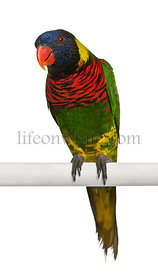 Portrait of Ornate Lorikeet, Trichoglossus ornatus, a parrot, perching in front of white background