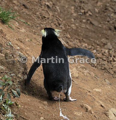 Fiordland Crested Penguin (Eudyptes pachyrhynchus) excreting as it negotiates the slope from the beach back up to the rookery...