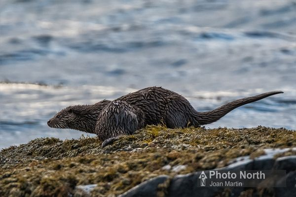 OTTER 02A - Otter with cub