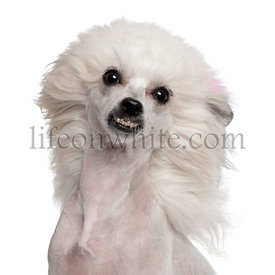 Chinese Crested Dog with hair in the wind, 1 year old, in front of white background