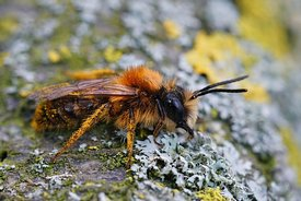 Closeup of a male of the colorful Tawny mining bee, Andrena fulva