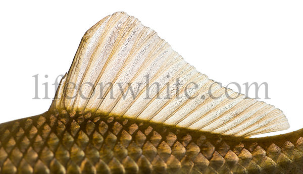 Side view of a Crucian carp\'s dorsal fin, Carassius carassius, isolated on white