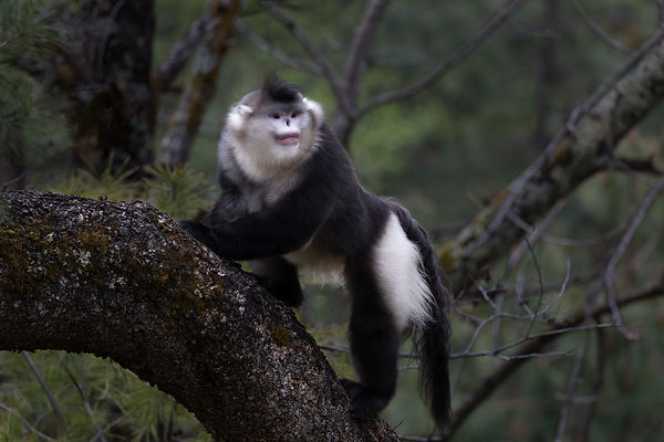 Black Snub-Nosed Monkey I