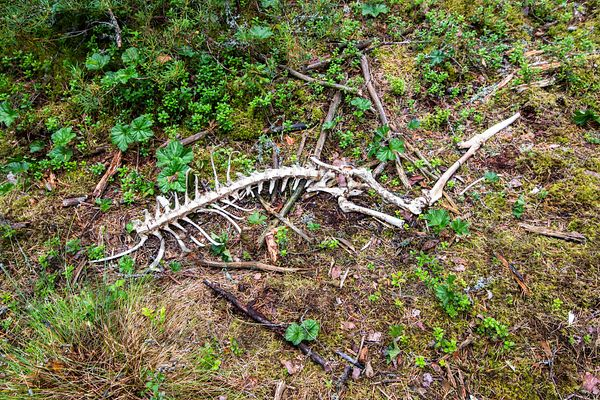 White-tailed deer killed by wolves