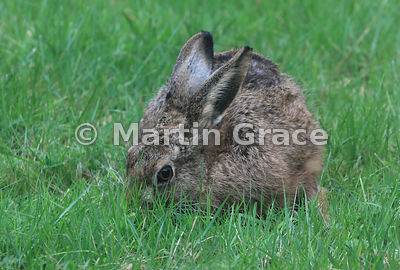 European Brown Hare (Lepus europaeus) grazing, Cairngorm National Park, Scotland