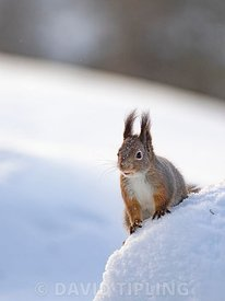 Red Squirrel, Sciurus vulgaris, in snow, Kuusamo, Finland, winter