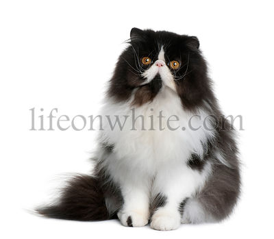 Persian cat, 9 months old, sitting in front of white background