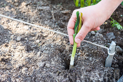 Repiquer les plants de poireaux   ∞ Plantation of leek sowings in a kitchen garden