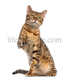 Bengal (11 months old) sitting, pawing and looking away