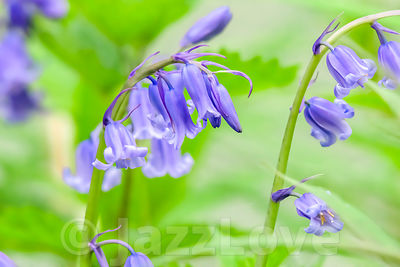 Bluebells growing in british woodland in spring.