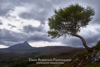 Image - Stac Pollaidh and lone tree, Inverpolly, Wester Ross, Highland, Scotland