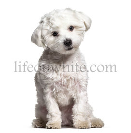 Maltese dog , 11 months old, sitting against white background