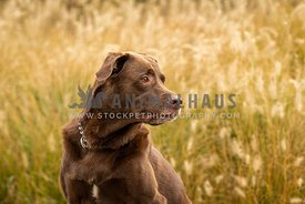 Chocolate Labrador against fall grasses