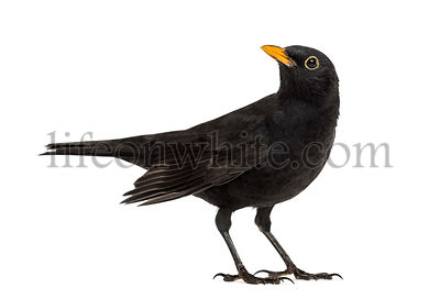 Blackbird Turdus merula looking up , isolated on white