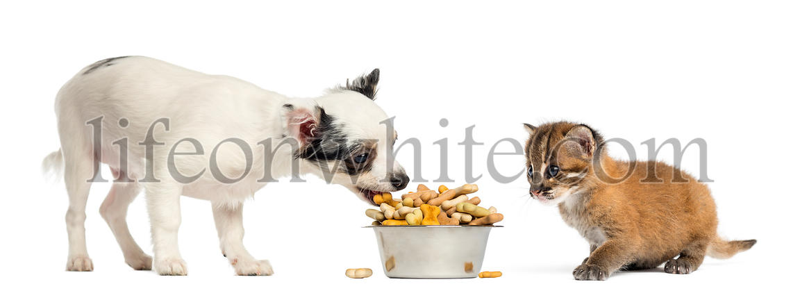 Chihuahua puppy eating from a bowl and Asian golden cat, isolated on white