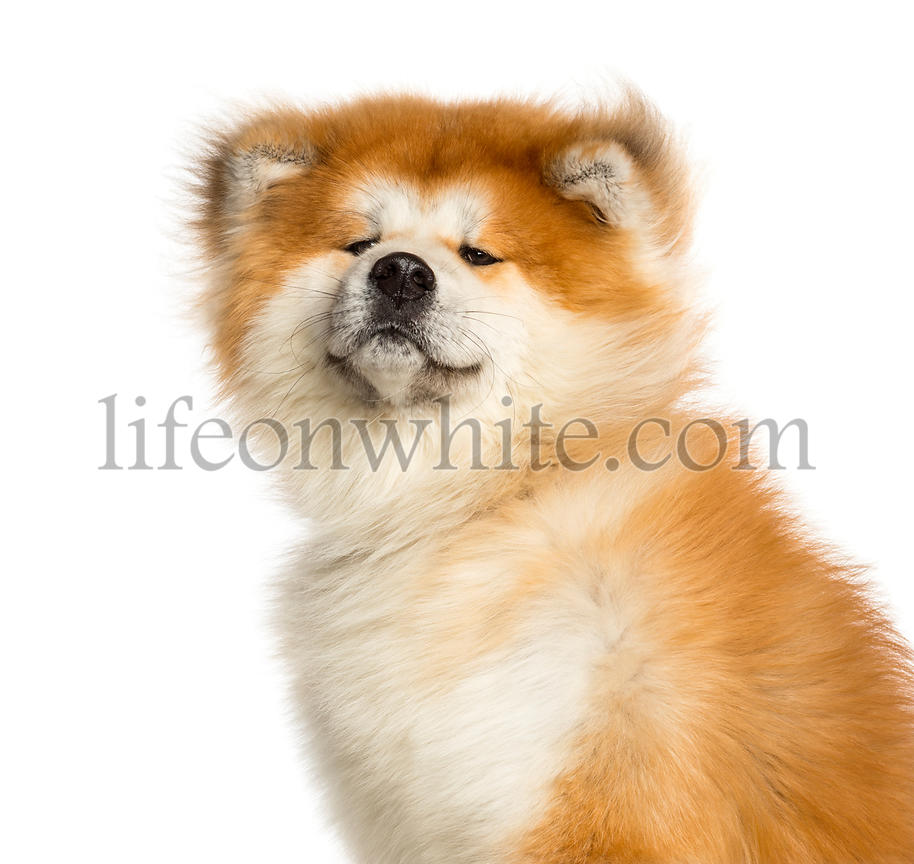 Close-up of Akita Inu, 1 year old, isolated on white