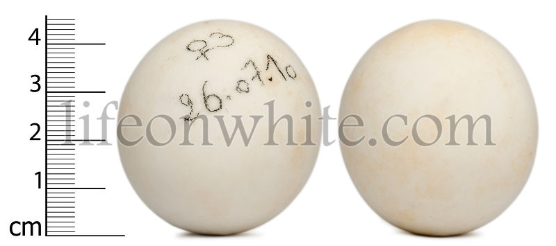 Eggs of radiated tortoise with measurements, Astrochelys radiata, in front of white background