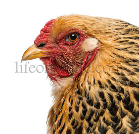 Close-up of a Buff Brahma hen\'s profile, isolated on white