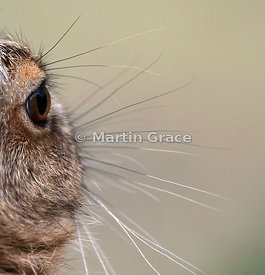 180 degrees vision - the eye of a young European Brown Hare (Lepus europaeus) photographed from behind, Lake District Nationa...