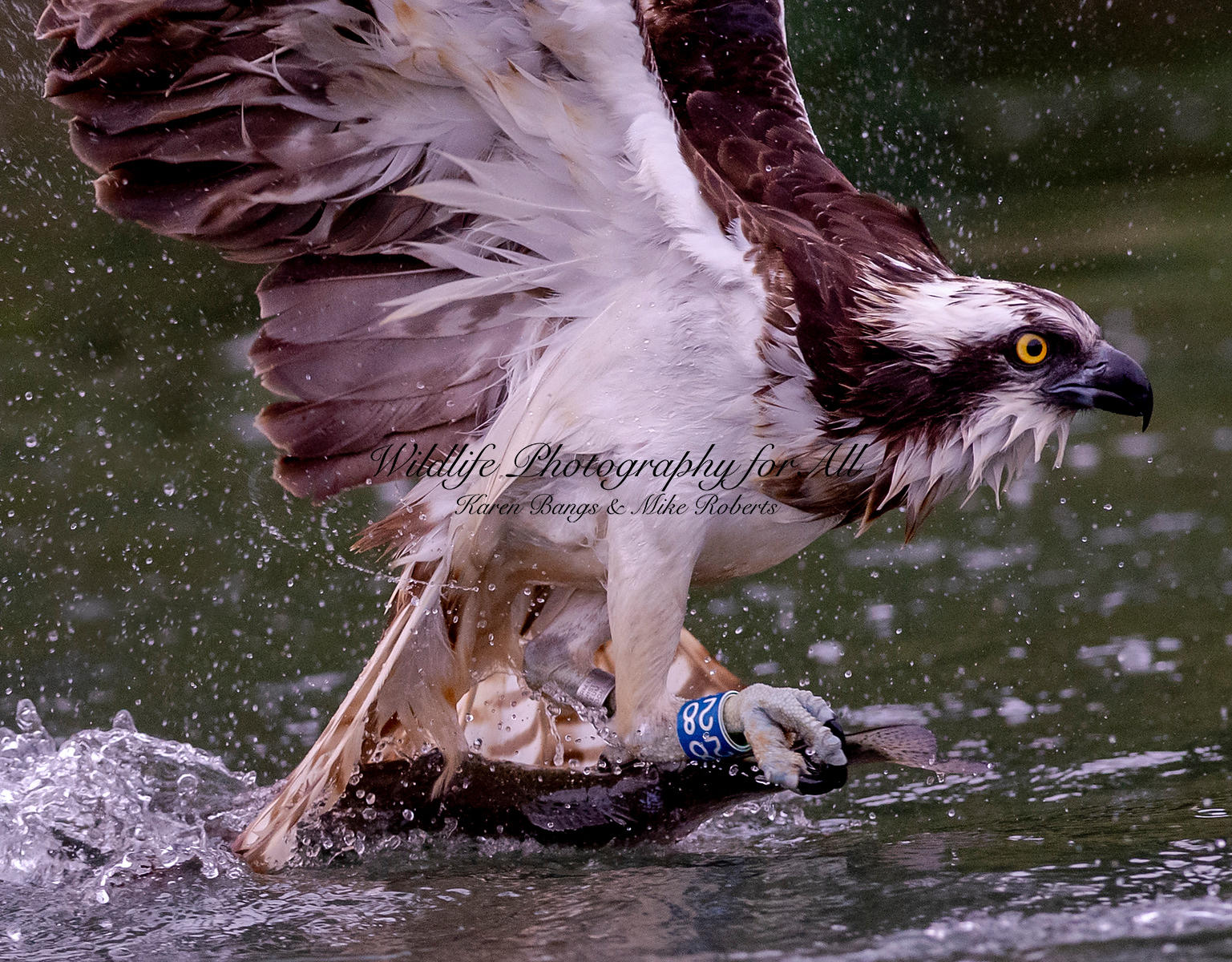 Osprey with trout - Mike Roberts