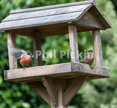 Bullfinches feeding at a bird table.