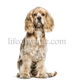 American Cocker Spaniel, 5 months old, sitting in front of white background