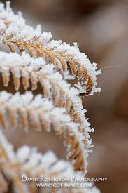 Image - Bracken leaves covered in frost