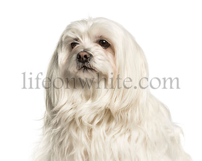 Close-up of a maltese against white background