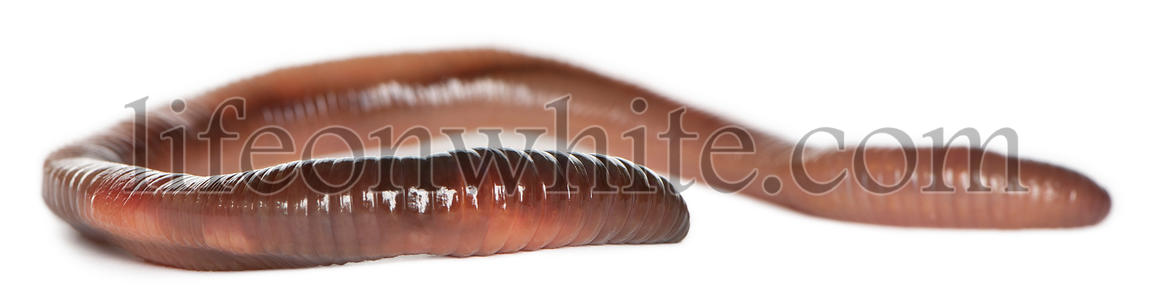 Earthworm, Lumbricus terrestris, in front of white background