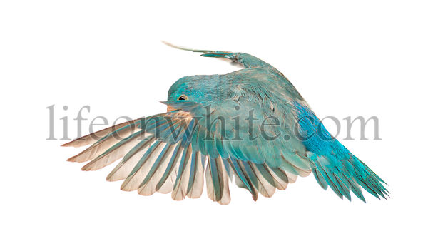 Pacific Parrotlet, Forpus coelestis, flying against white background