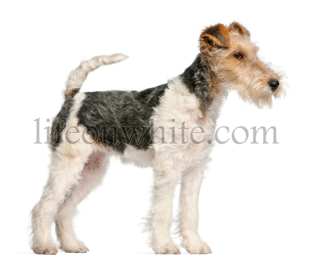Fox Terrier puppy, 4 months old, in front of white background