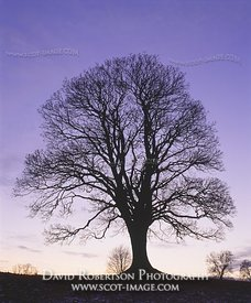 Image - Sycamore in silhouette at dusk