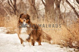 Australian shepherd standing in the snow