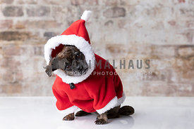 Small Brindle Pug Mix Tilting Head Wearing Red Hoodie
