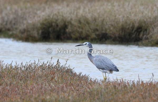 White-Faced Heron (Egretta novaehollandiae), Miranda, Firth of Thames, North Island, New Zealand
