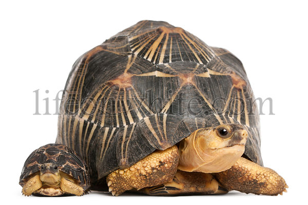 Radiated tortoise and baby, Astrochelys radiata, in front of white background