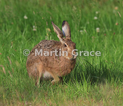 European Brown Hare (Lepus europaeus) moving forwards in sunshine in a meadow, Cairngorm National Park, Scotland