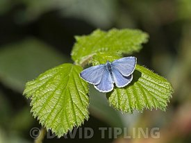 Holly Blue Butterfly,  Celastrina argiolus,  in garden in early spring Holt Norfolk