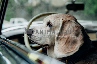 An older beagle waiting in the car and watching out the window from the driver's side