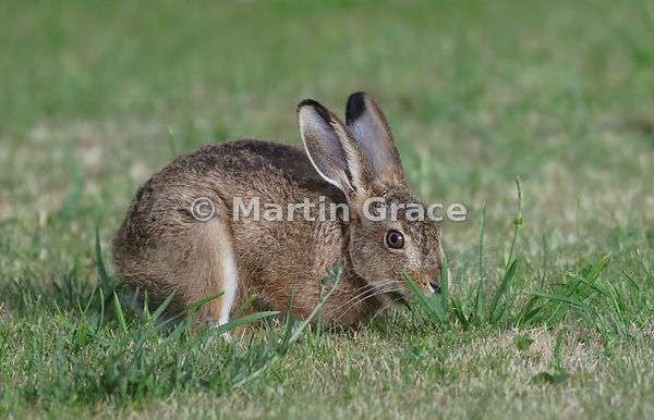 Young European Brown Hare (Lepus europaeus) grazing on a lawn, Lake District National Park, Cumbria, England