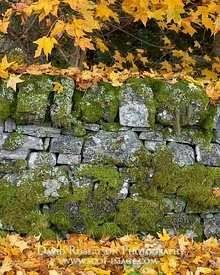 Prints & Stock Image - Mossy drystone wall with autumn sycamore leaves, Glenernie, Moray, Scotland
