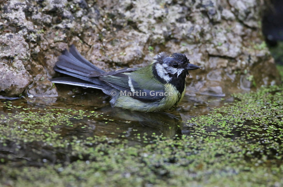 Great Tit (Parus major) bathing in the garden pond, Lake District National Park, Cumbria, England