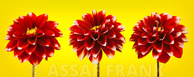 Three Dahlia flowers