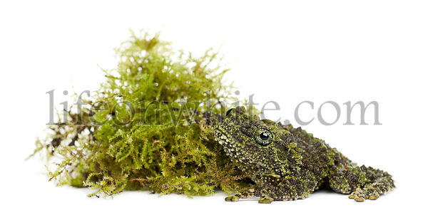 Mossy Frog next to Moss, Theloderma corticale, also known as a Vietnamese Mossy Frog, or Tonkin Bug-eyed Frog, portrait again...