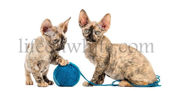 Devon rex cats playing with a wool ball isolated on white