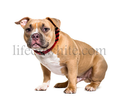 American Bully sitting in front of white background