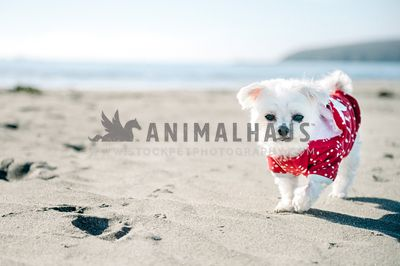 A small white dog in a red polkadot sweater walking on the ocean beach