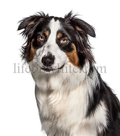 Australian Shepherd looking at camera against white background