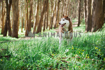 A red husky standing in a field in an open forest